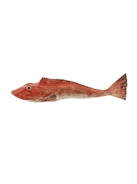 Picture of Fish and Shellfish - Large Tub Gurnard