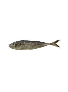 Picture of Fish andShellfish - Horse Mackerel